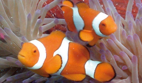 Will I see 'nemo' at the Great Barrier Reef